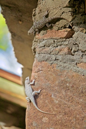 Two Diverse Lizards of the same Species Show Different Pigmentation and Color Banco de Imagens