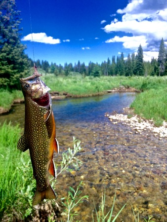 Brook Trout hooked on elk caddis fly with stream and woods in background