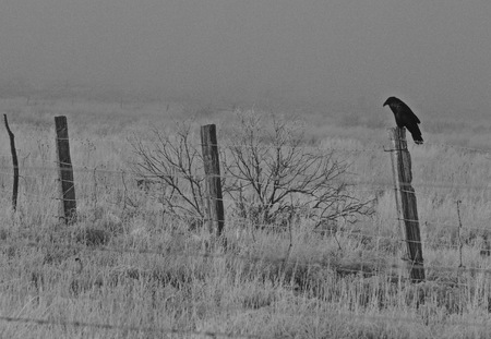 Black and White photo of crow sitting on fence post on the edge of a field on a foggy frosty morning