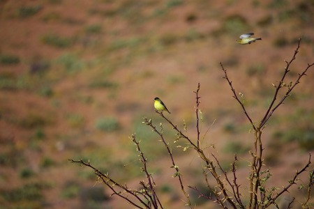 Male and Female Finch sitting and flying around brush