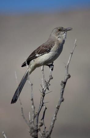 Mocking Bird sitting on a thorny branch singingcalling Stock Photo