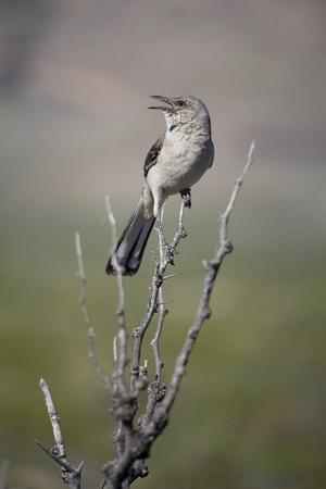 Mocking Bird sitting on Branch SingingCalling