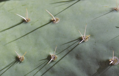 Close up of Prickly Pear Cactus Pad and Spines