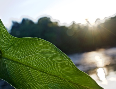 Veins of Green Leaf Visible in Light of Summer Sunset on the Water