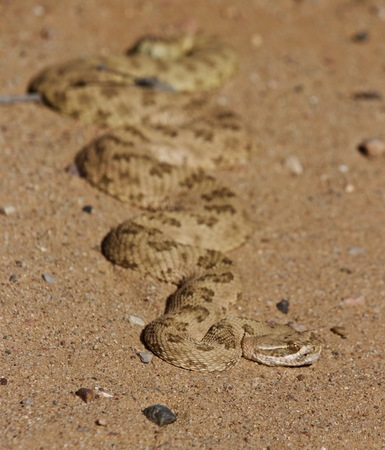 A rattle snake absorbing the morning heat from the sun in the sand