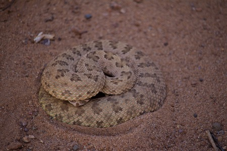 Rattle Snake Coiled in a Defensive Position with its Head Under its Body
