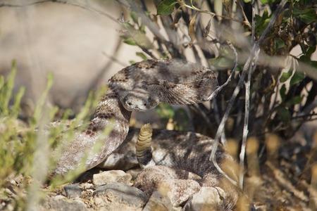 Rattle Snake ready to strike on summer day, Hidden Under Bush