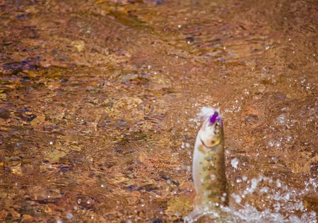 Rio Grande Cutthroat Trout Jumps From Water with FlyLure in Mouth From Clear Waters Stock Photo