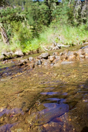 Brook Trout in Crystal Clear Waters, Trees and Rocks in Background