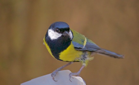 Great Tit Perched on Bird Feeder on Autumn Day