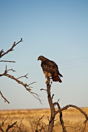 Red Tailed Hawk Perched on Limb of Small Tree