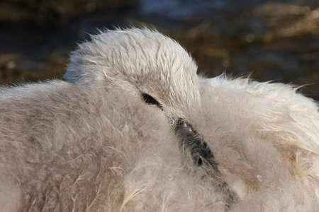 A sleepy baby swan, resting its head on its body. photo