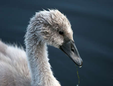ugly duckling: Signet in Profile