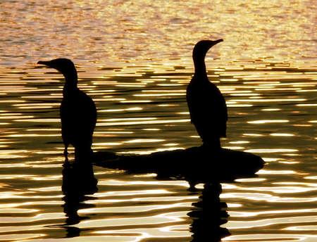 Herons on Golden Lake Stock Photo - 464966
