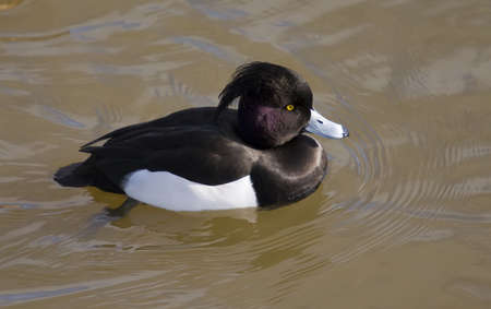 black plumage: Tufted duck with deep black plumage and purple neck feathers.
