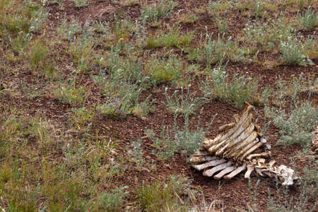 cow bones lie on the ground after hunting wolves