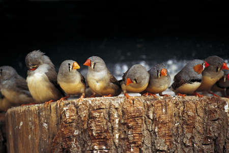 attend: Zebrafinches Waiting in Line