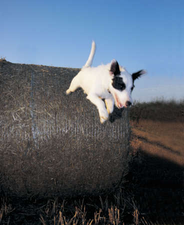 ta: A jack russell terrier leaps from a bale of hay Stock Photo
