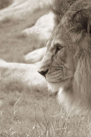 Sepia side profile of an African male lion photo