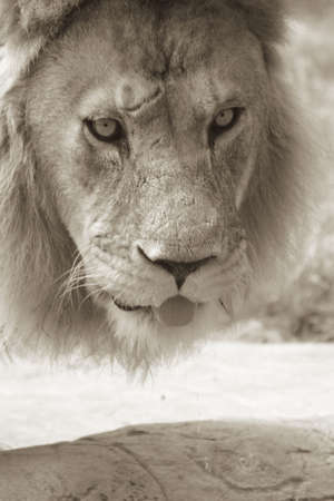 Sepia shot of an African male lion drinking at a water hole photo