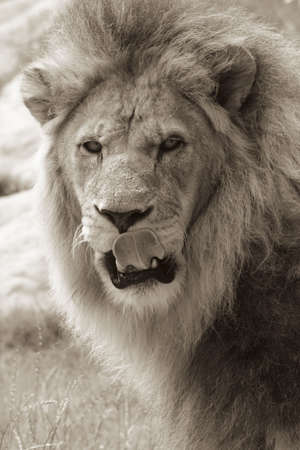Sepia shot of an African male lion licking his lips photo