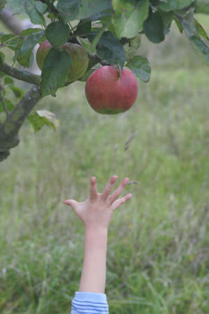 A young childs hand reaching for a red apple on a tree. Stock Photo