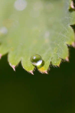 Macro shot of a drop of water about to fall off a leaf photo