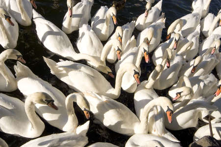 crowded space:  A group of swans on the River Thames, Windsor, England, Europe.