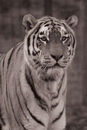 Sepia shot of a young Siberian Tiger photo