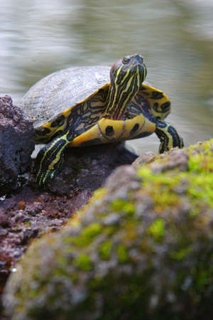 animals amphibious: A terapin climbs out of the water and looks skywards