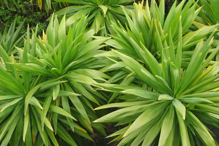 cordyline: Green and spiky plants of the cordyline family Stock Photo