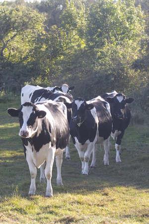 fresian: A queue of Fresian dairy cows