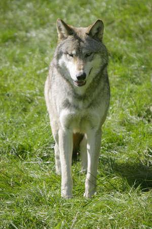hunted: Un lobo gris canadiense