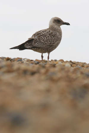 A gull on a pebble beach photo