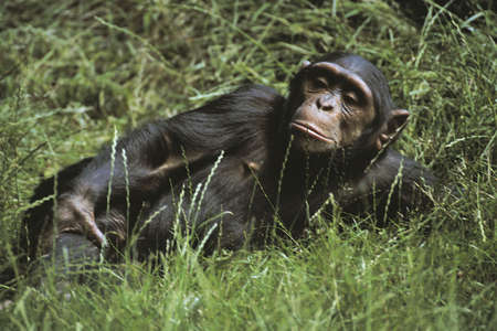 nipples: A chimpanzee lounging in the grass Stock Photo