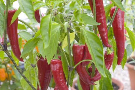 spicey: Peperoncini rossi crescente su una pianta cile