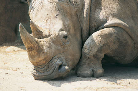 snoozing: An African white rhino resting in the sunshine
