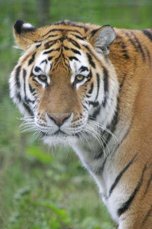 stares: A Siberian tiger stares into the lens