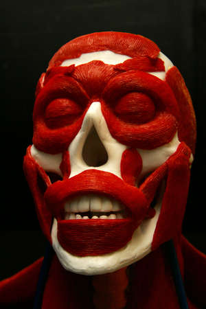 facial muscles: Shot of a model showing the facial muscles and skull