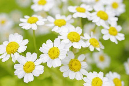 A close up shot of daisies in summertime