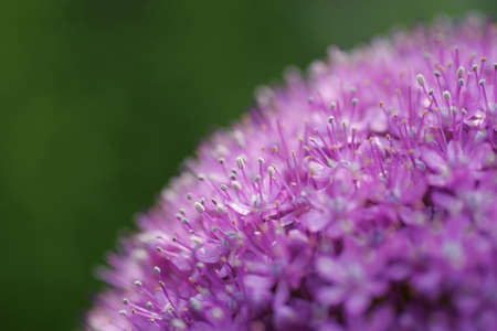 planetary: Close up of a purple alium, shot to look like a planetary picture