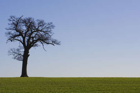 ash tree: An old tree on the horizon with a cloudless blue sky in the background and a green field in the foreground