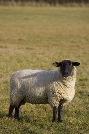 faced: A black faced sheep in an English field