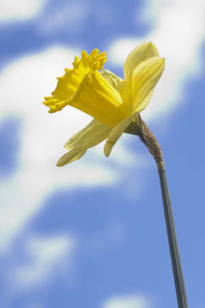 A daffodil shot against an out of focus blue and cloudy spring sky photo