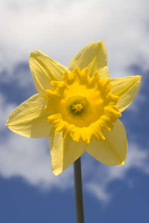 A daffodil shot against a blue and cloudy spring sky photo