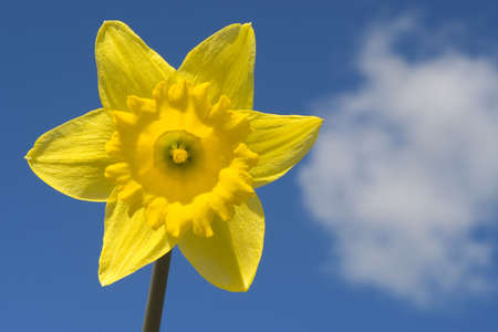 A daffodil shot against a blue spring sky with a single cloud photo