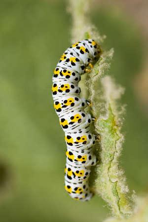 Diloba caeruleocephala, Figure of Eight moth caterpillar chews on a leaf photo