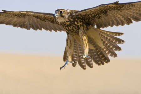 A falcon coming for the kill, shot in a middle eastern desert location. Stock Photo