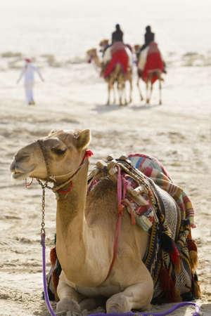 Un camello de sentarse en un desierto de Arabia, mientras que en el fondo �rabe de personas a caballo y dos camellos caminando junto a ellas. Foto de archivo