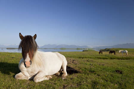 location shot: An Icelandic horse at rest in a field by a lake with other Icelandic horses in the background. Shot on location in Iceland in early morning golden light. Stock Photo